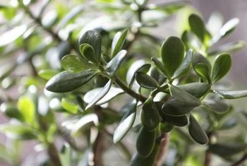 Its silvery blue leaves inspired the name silver dollar jade.