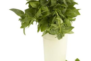 Rejuvenate potted basil so it continues producing indoors.