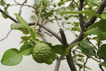 Fertilizing kaffir lime in late summer may make its fruit even less juicy.