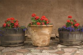 Geraniums add container color in all climates.