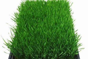 Bahia grass is available for planting from seed or sod.