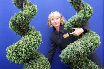 Spiral evergreens are used as focal points or as part of a formal garden.
