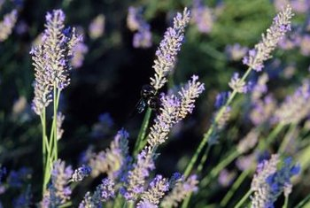 When transplanting blooming lavender, watch out for busy bees pollinating the flowers.