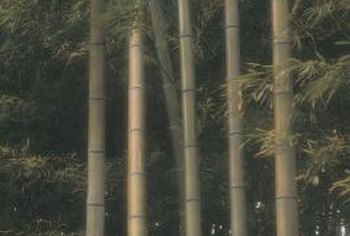 Bamboo's lightness and strength are ideal for a folding shoji screen.
