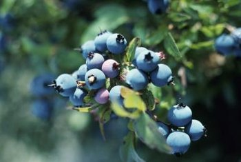 Netting is often required to protect blueberries from hungry birds.