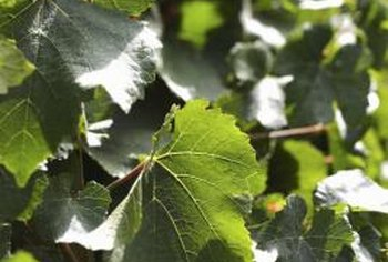 Dense muscadine grape foliage provides cooling shade when trained on an arbor.