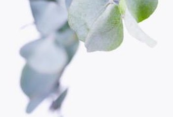 The younger leaves of eucalyptus are typically lighter green than mature leaves.