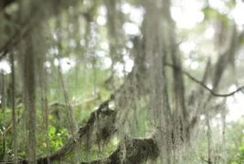 Use a long pole or rake to gather Spanish moss.