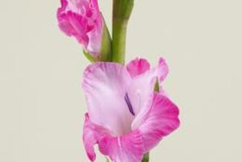 Gladiolus flowers can reach up to 5 feet high.