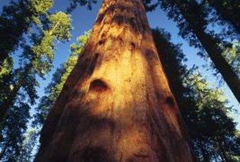Giant sequoias are nature's skyscrapers.