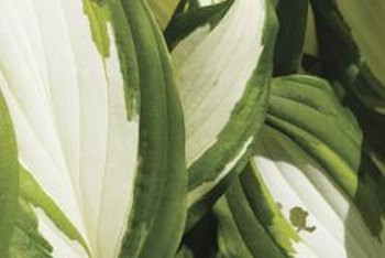 Variegated hostas amplify the drama of the mottled shade under trees.