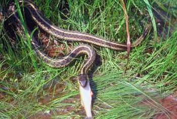 Common garter snakes average 34 inches in length.