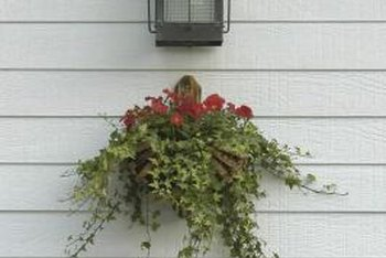Ivy can be planted in planters with flowering plants.