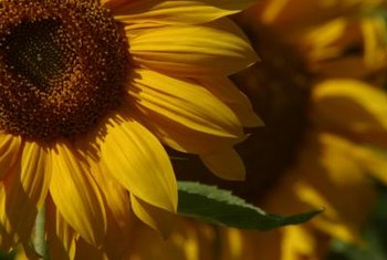 Two kinds of flowers compose what is commonly called a single sunflower.