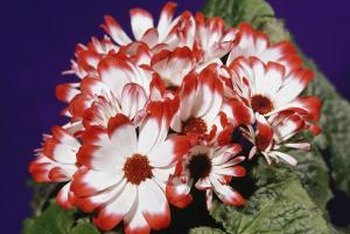 Cineraria is one plant name with a lot of confusion.