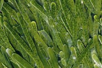 Seaweed is high in vitamins, minerals and enzymes.