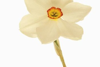 Poeticus daffodils combine three colors in one fragrant flower.