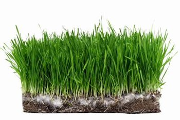 Sod covers the entire lawn, while plugs are planted in intervals.