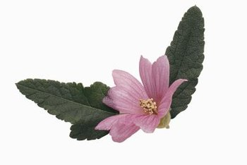 Island mallow is native to California.
