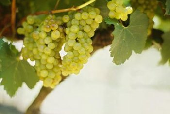 Grapevines offer tasty treats in addition to shade beneath your arbor.