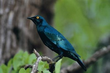 Starlings are non-native birds found in all U.S. areas.