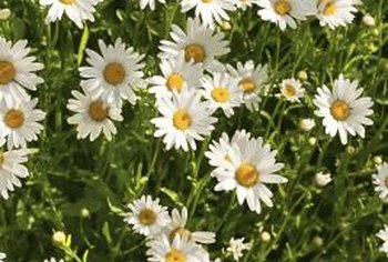 Plant Shasta daisies with other long-blooming perennials.