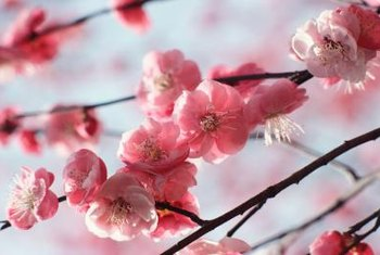 Real cherry blossoms are available for a limited time during early spring.