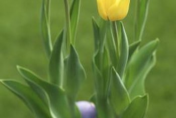 Take time to enjoy your Easter gift tulips while they are blooming, since it is difficult to induce them to flower again.