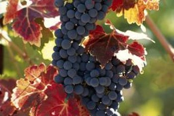 Proper pruning of grapevines removes 90 percent to 95 percent of the vines.
