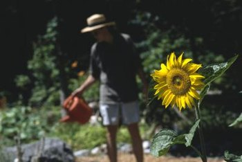 Sunflowers liven up vegetable gardens.