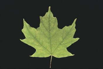 Sugar maple leaves have three large lobes at the top and two smaller lobes at the bottom.