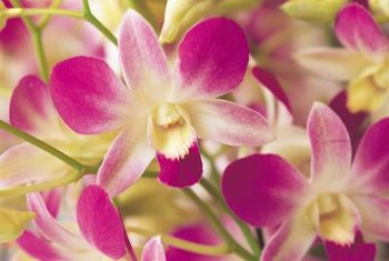 many noble dendrobium orchid petals are edged with purple