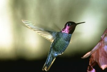 The Anna's hummingbird breeds and spends the winter in California.
