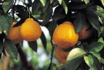 You can control many citrus tree pests with natural insecticides.