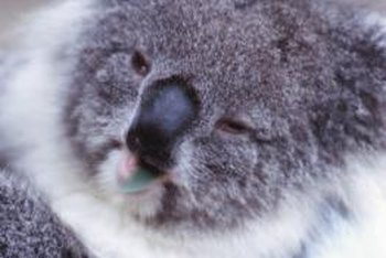 You don't have to be a koala to appreciate the fine qualities of eucalyptus.