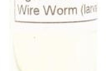 Some wireworms take up to six years to reach maturity.