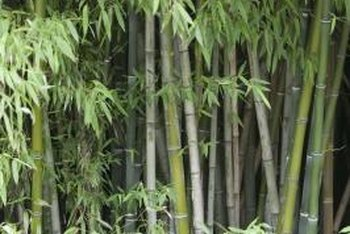 Moso bamboo can grow almost 100 feet tall.