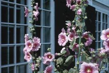 Hollyhock leaves affected by blight, or rust, die from the ground up.