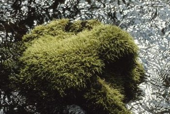 Learn how to eliminate moss safely and effectively.
