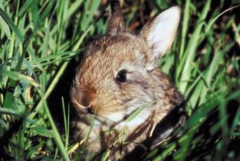 Rabbit-repelling plants are more effective when used in combination with fencing or raised beds.
