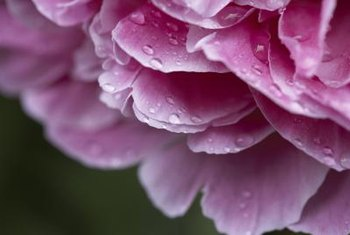 Provide some shade in warmer climates so your peonies bloom well.