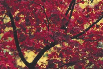 Red maple's five-lobed leaves turn bright red in autumn.