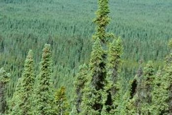 Coniferous trees form vast forests in cold climates.