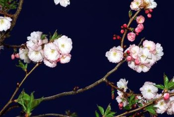 Crabapple blossoms work well to cross-pollinate edible apple trees.