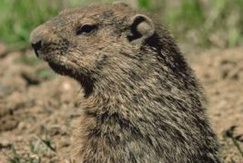 Groundhogs can wreak havoc on yards and gardens.