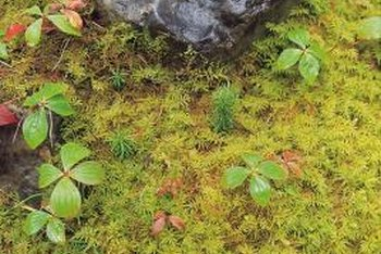 Moss spreads through spores and forms dense patches over the lawn.