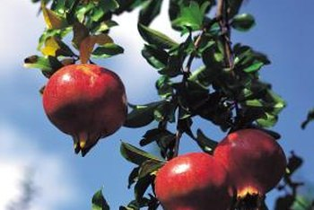 Pomegranate trees produce edible fruit along the picket fence.