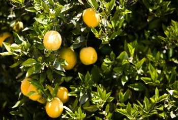 """Dwarf Washington Navel"" orange trees may be grown in containers in colder areas."
