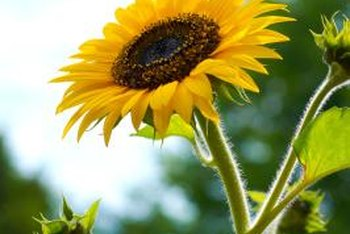 Sunflowers are annuals that thrive in direct sunlight.