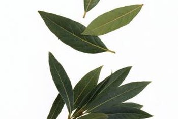 Mountain laurels produce dark, glossy green leaves.